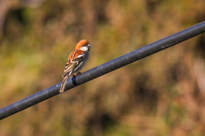 Russet's Sparrow