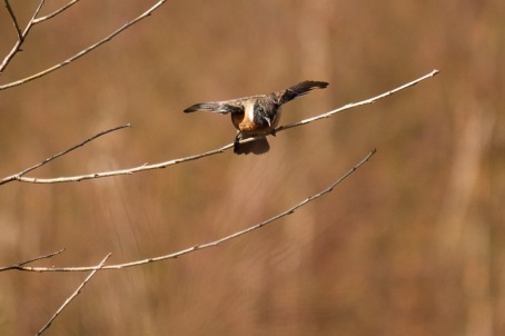 Asian Stonechat (Common Stonechat)