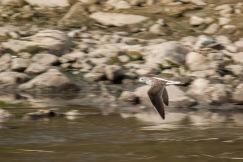 Common Greenshank