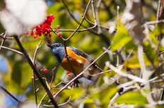 Blue-fronted Redstart