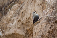 Wallcreeper