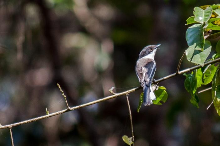 Bar-winged Flycatchershrike