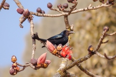 Hair-crested Drongo