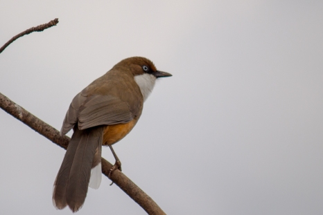 White-throated Laughing-thrush