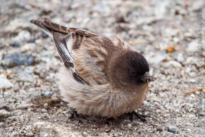 Brandt's Mountain Finch