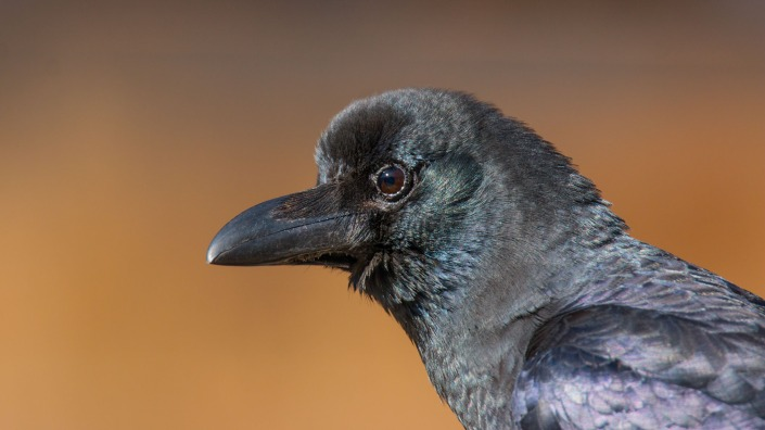 Large-billed Crow in Everest Region