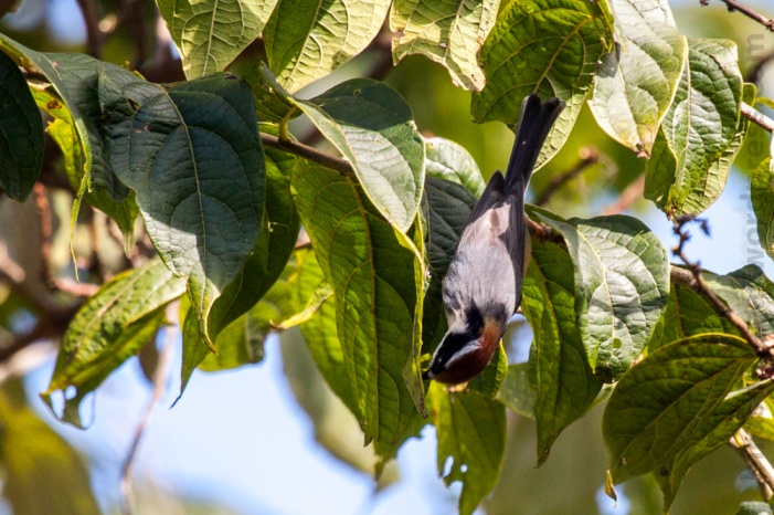 Black-throated Tit Kakani Nepal Bird Photography