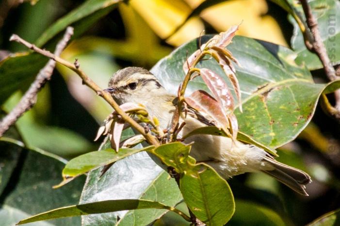 Hume's Leaf Warbler Nepal Kakani Bird Photography