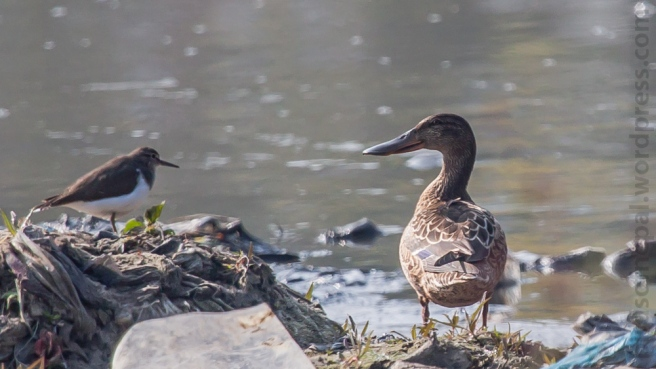 Northern Shoveler female Bagmati Kathmandu Nepal Bird Photography