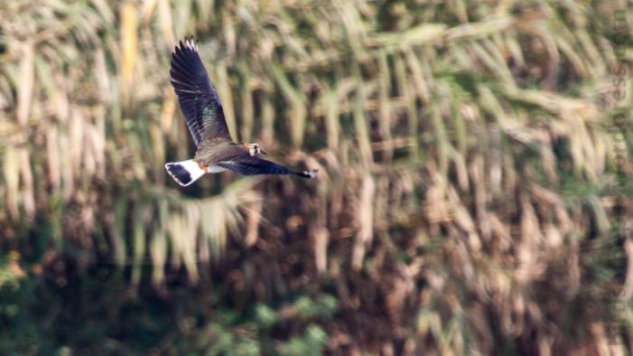 Northern Lapwing Bagmati Kathmandu Nepal Bird Photography