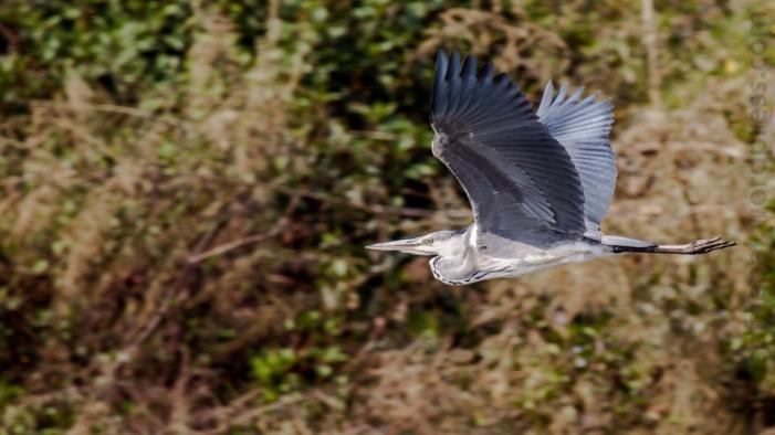 Grey Heron Bagmati Kathmandu Nepal Bird Photography