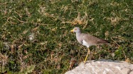 Grey-headed Lapwing Bagmati Kathmandu Nepal Bird Photography