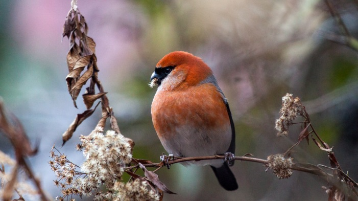Red-headed Bullfinch