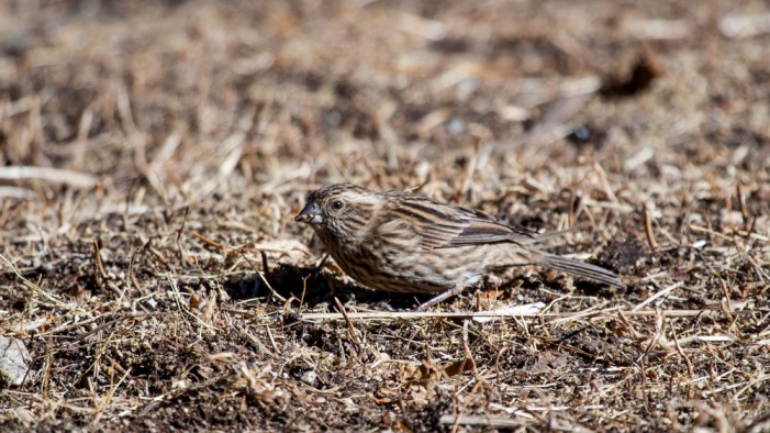White-browed Rosefinch