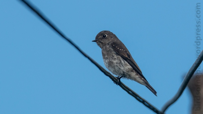 Verditer Flycatcher (immature)
