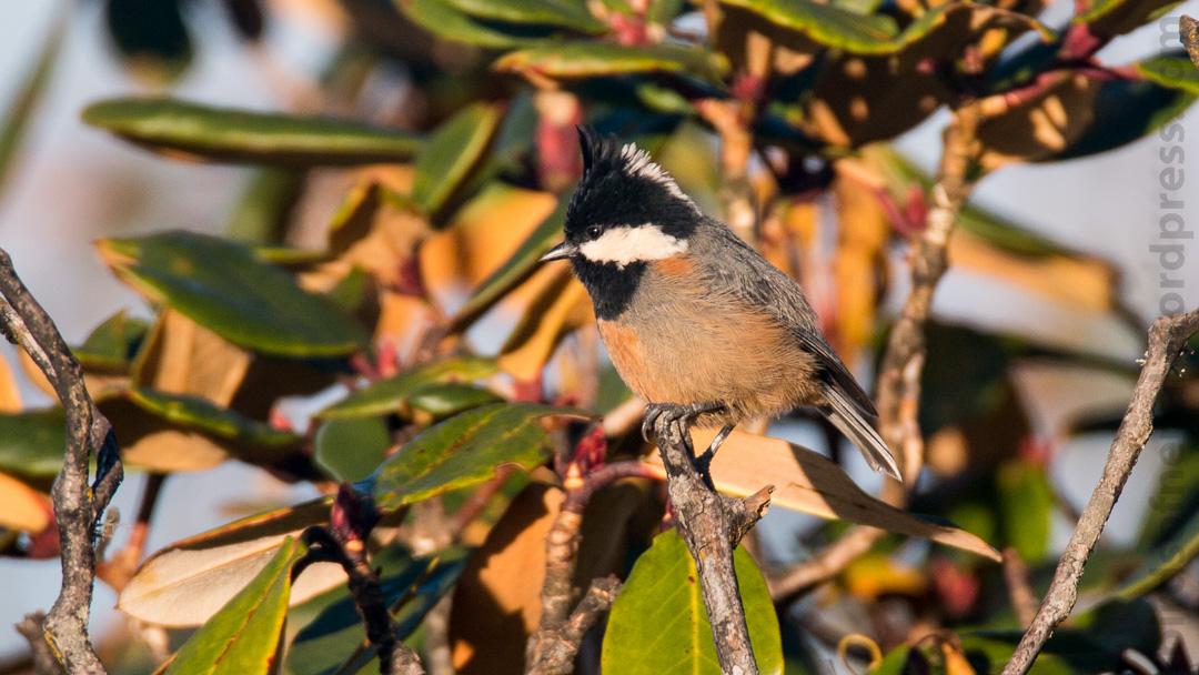 Rufous-vented Tit