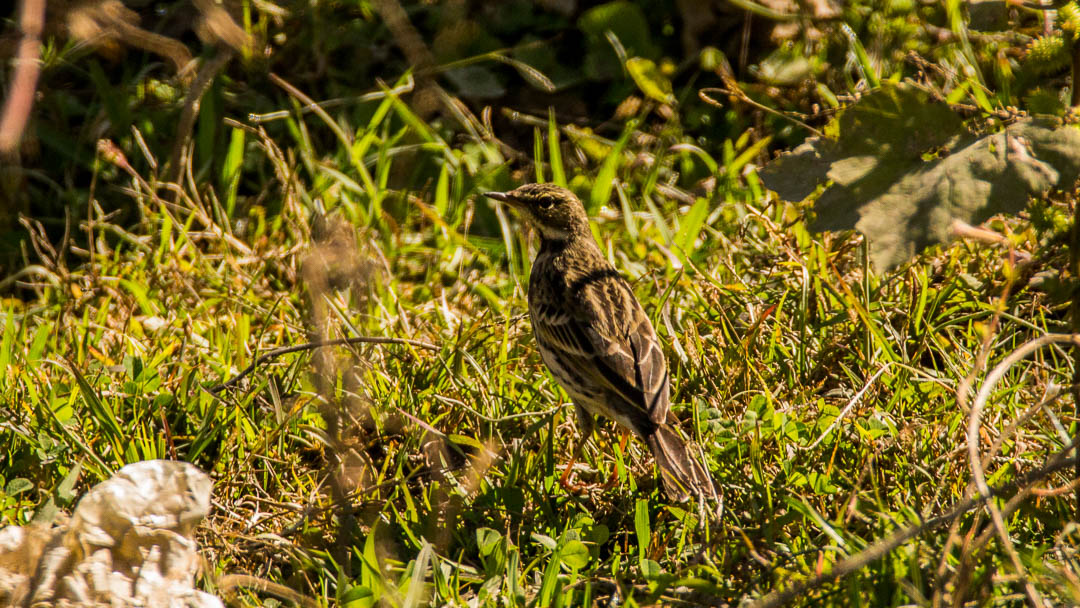 Upland Pipit