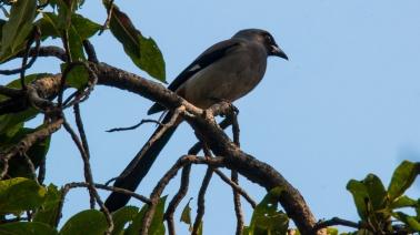 Grey Treepie