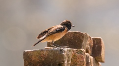 Asian Stonechat