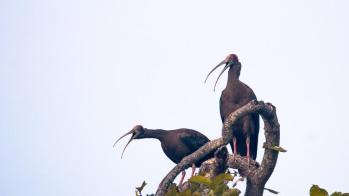 Black Ibis