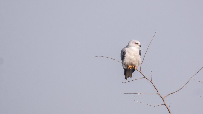 Black-shouldered Kite at Jagadishpur Reservoir, Kapilvastu, Nepal