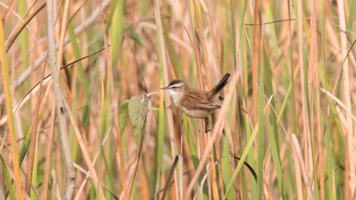 Moustached Warbler at Jagadishpur Reservoir, Kapilvastu, Nepal