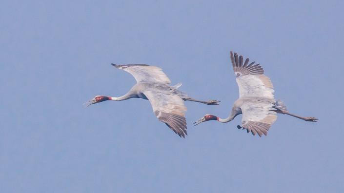 Sarus Crane Nepal