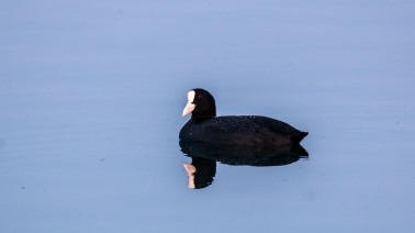 Common Coot at Jagadishpur Reservoir, Kapilvastu, Nepal
