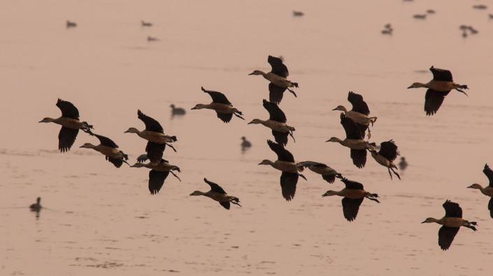 Lesser Whistling-duck in Jagadishpur Reservoir, Kapilvastu, Nepal