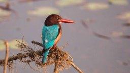 White-throated Kingfisher in Jagadishpur Reservoir, Kapilvastu, Nepal