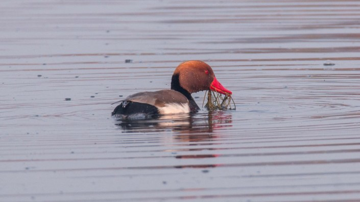 Red-crested Pochard in Jagadishpur Reservoir, Kapilvastu, Nepal