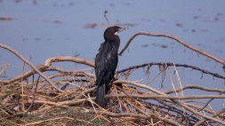 Little Cormorant in Jagadishpur Reservoir, Kapilvastu, Nepal