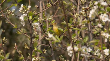 Tickell's Leaf Warbler at Chobhar Bagmati