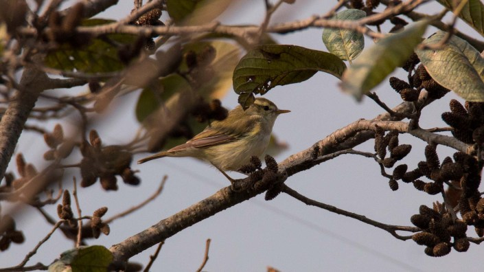 Greenish Warbler at Chobhar Kathmandu