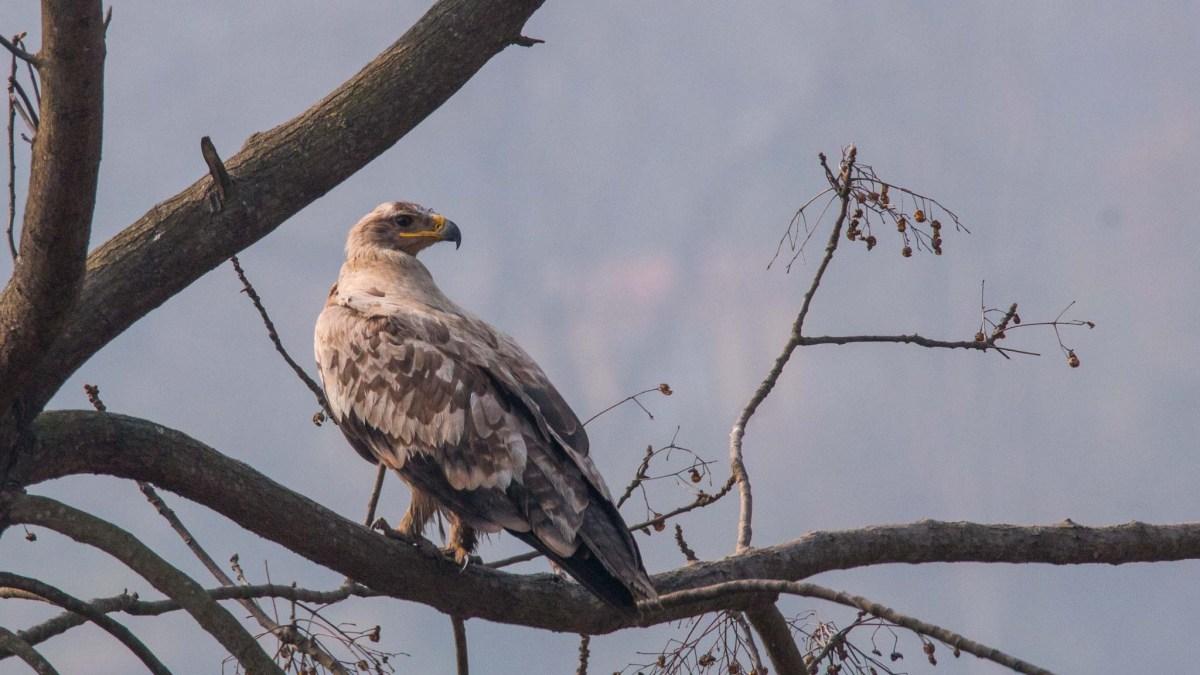 Steppe Eagle at Chobhar Kathmandu