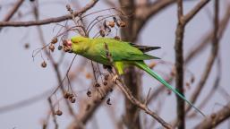 Rose-ringed Parakeet at Chobhar Kathmandu
