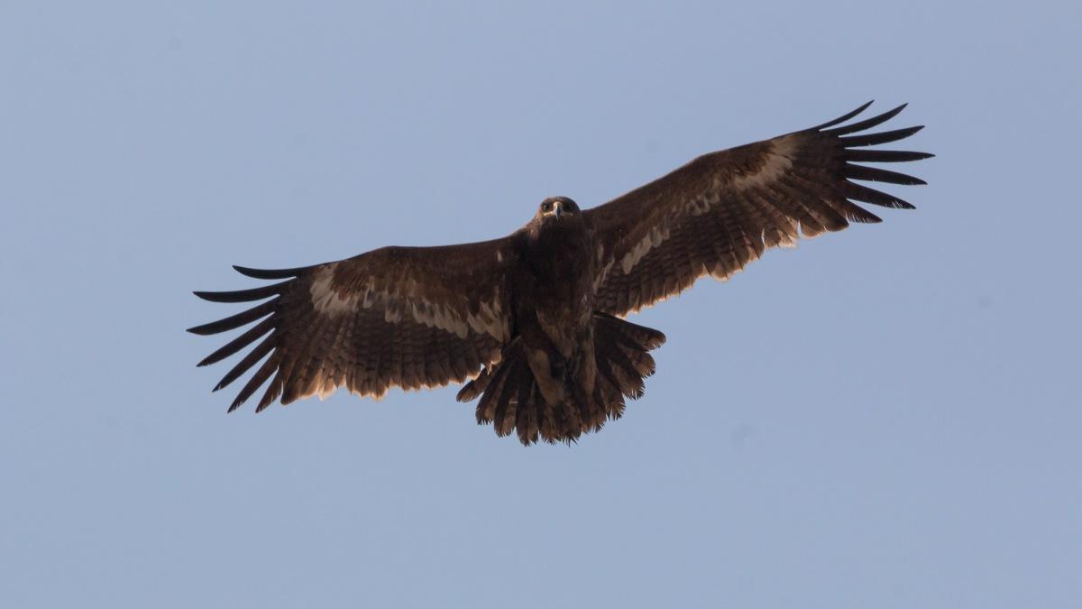 Steppe Eagle at Taudaha