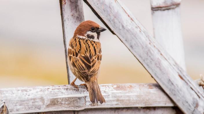 Eurasian Tree Sparrow at Taudaha Kathmandu
