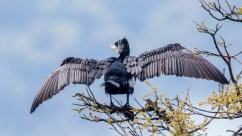 Great Cormorant at Taudaha Kathmandu