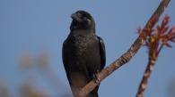 Large-billed Crow at Machhegaun Kathmandu