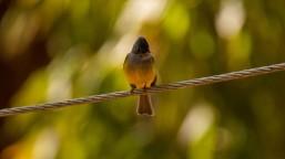 Grey-headed Canary Flycatcher at Shivapuri, Kathmandu