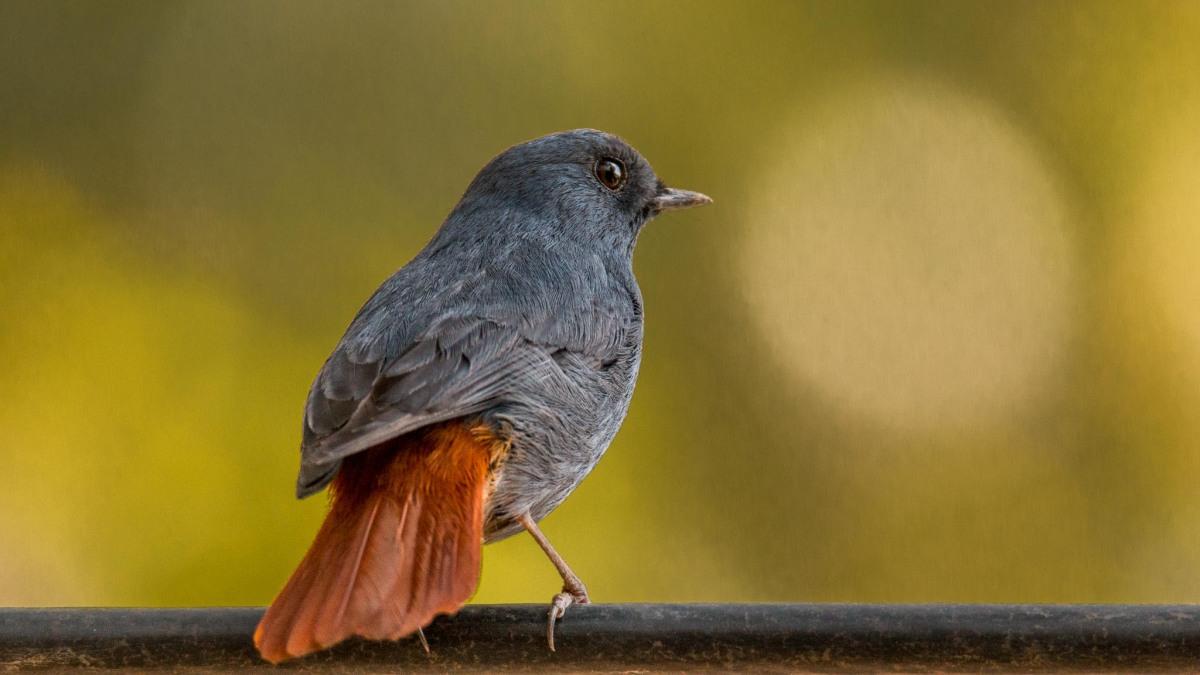 Plumbeous Redstart at