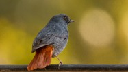 Plumbeous Redstart at