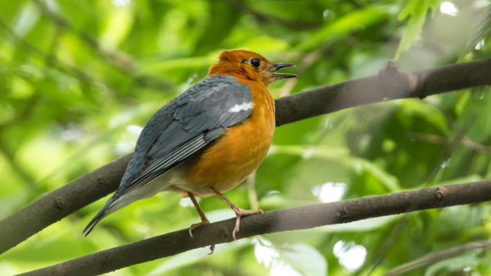 Orange-headed Thrush at Kathmandu Nepal