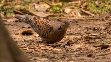 Oriental Turtle Dove at Kathmandu Nepal