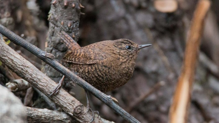 Eurasian Wren in Everest