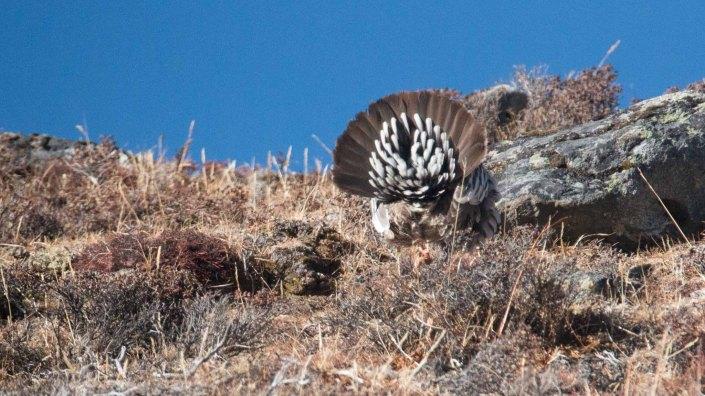 Tail feathers of Tibetan Snowcock