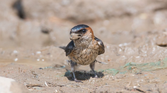 Red-rumped Swallow in Nepal