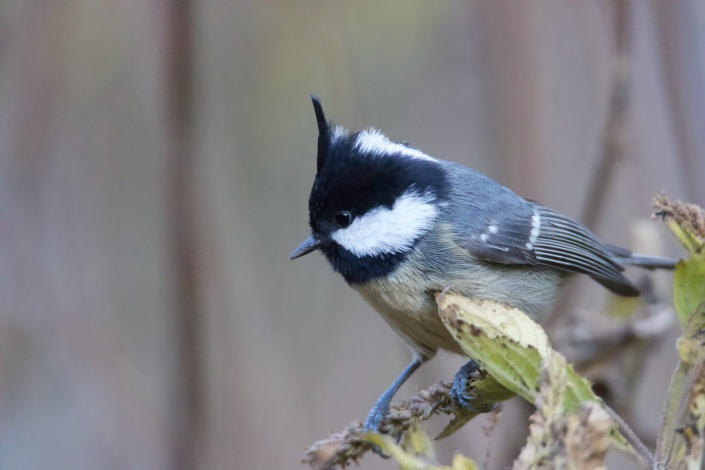 Coal Tit in Langtang