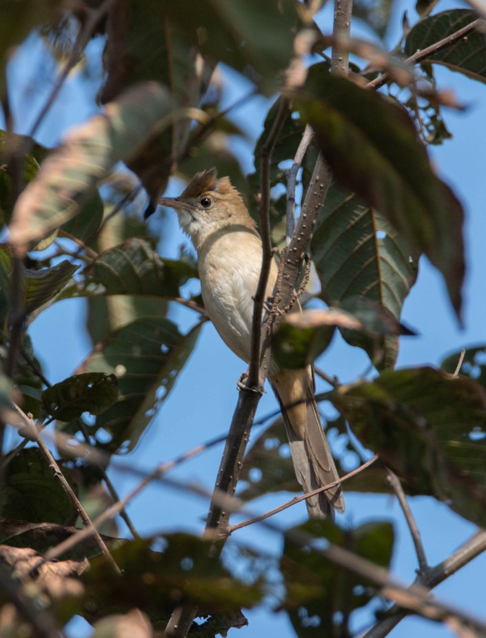 Thick-billed Warbler.
